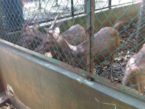 Penangkaran rusa Hutan Cifor, Bogor - Hutan Penelitian Dramaga