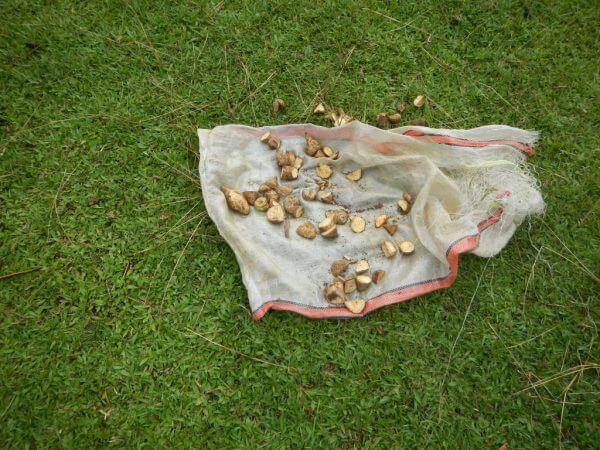 Ubi jalar makanan rusa - Penangkaran Rusa Cariu