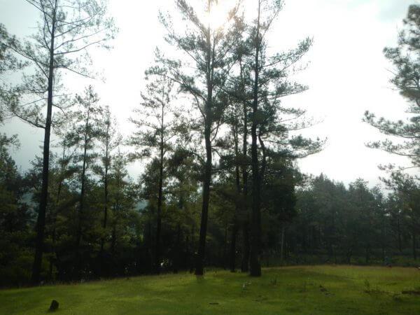 Hutan pinus di Penangkaran Rusa Cariu